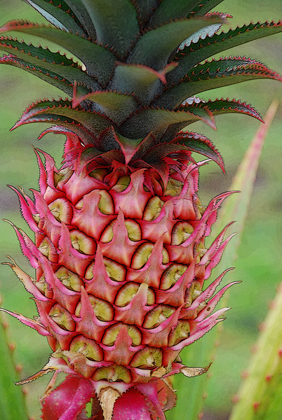 Reap what you sow! The first fruit of The T & E Pineapple Plantation.