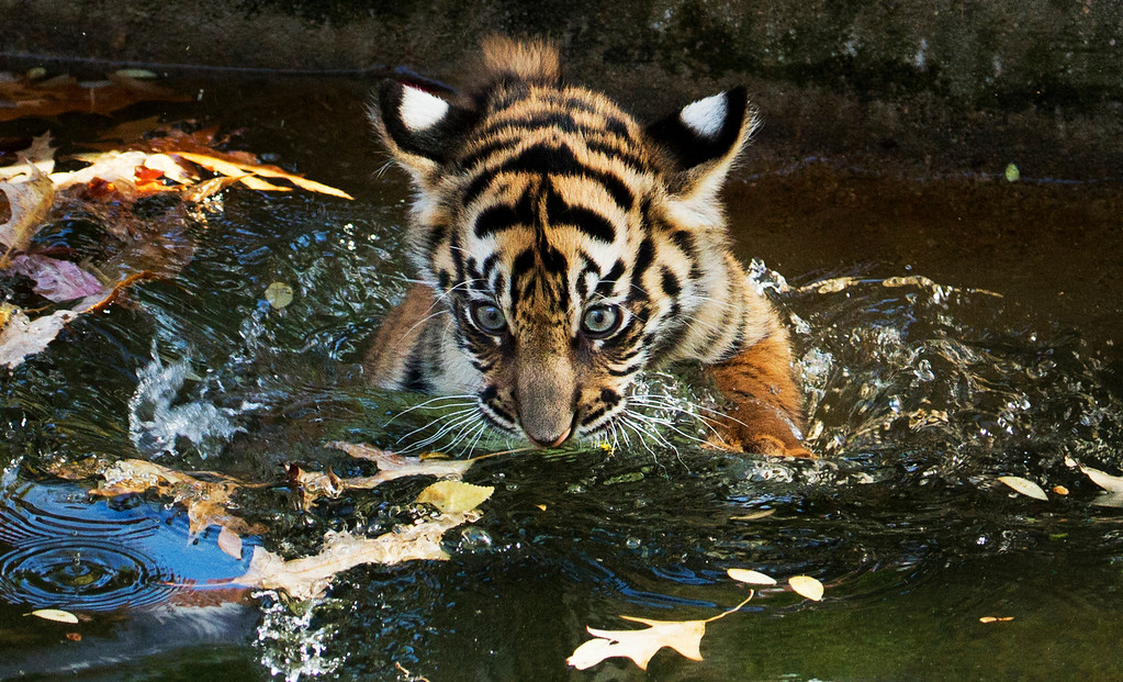 . The Smithsonian National Zoo\'s female Sumatran tiger cub Sukacita takes a swim reliability test at the zoo\'s moat in Washington, Wednesday, Nov. 6, 2013. The two 13-week-old Sumatran male and female cubs named Bandar and Sukacita, were able to keep their heads above water, navigate to the shallow end of the moat and climb onto dry land, passing this critical step. The cubs are ready to explore the yard with their mother, 4-year-old Damai.  (AP Photo/Manuel Balce Ceneta)