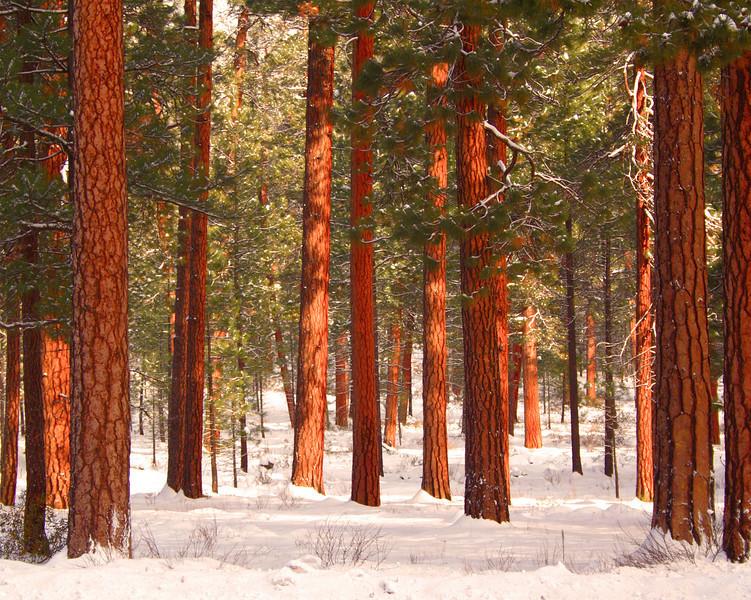 ponderosas in winter_IMG_1730_ktk.jpg