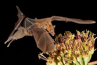 Nectar Feeding Bats in Arizona