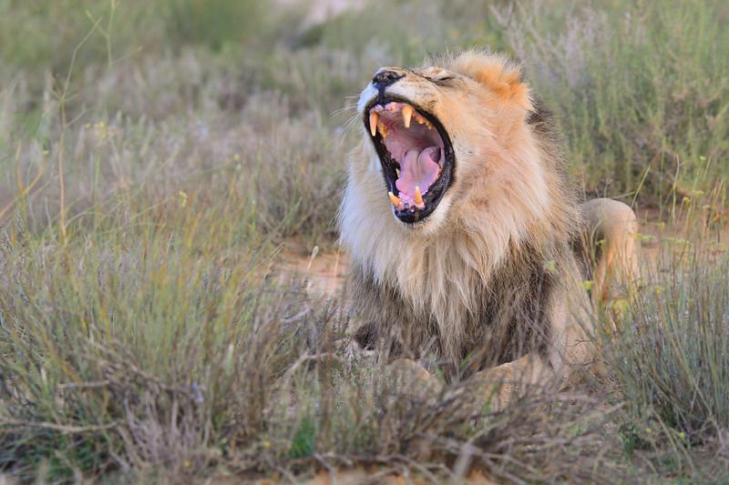 Male lion 4 yawning-1.JPG
