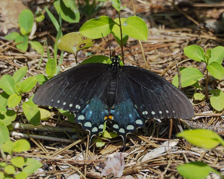 Spicebush swallowtail, female