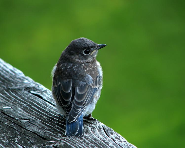 bluebird_fledgling_4599.jpg