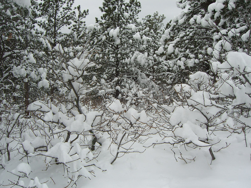 Anybody can get snow to stick to conifers ...