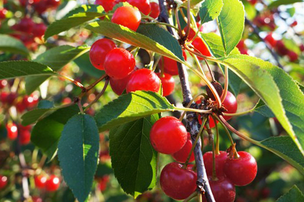Montmorency tart cherries growing on the tree. Did you know they help fight inflammation pain?