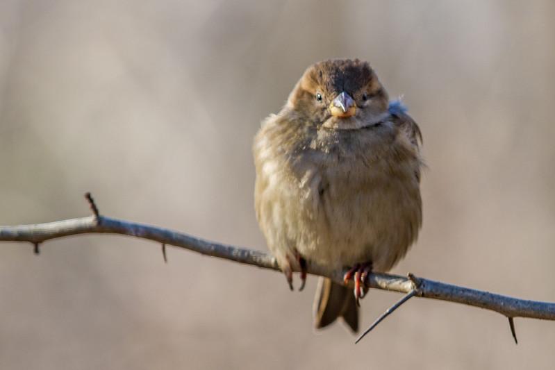 House Sparrow NYC-7502.jpg