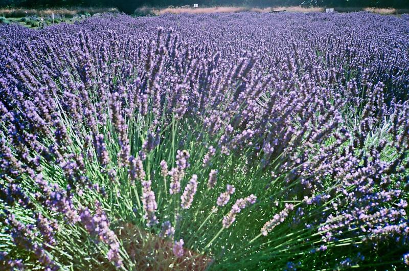 Columbia View Lavender Farm. Olympus XA. Fujicolor Industrial.