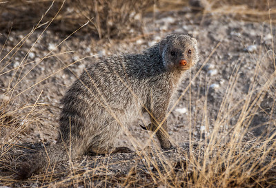 Mongoose, Badger, Stoat