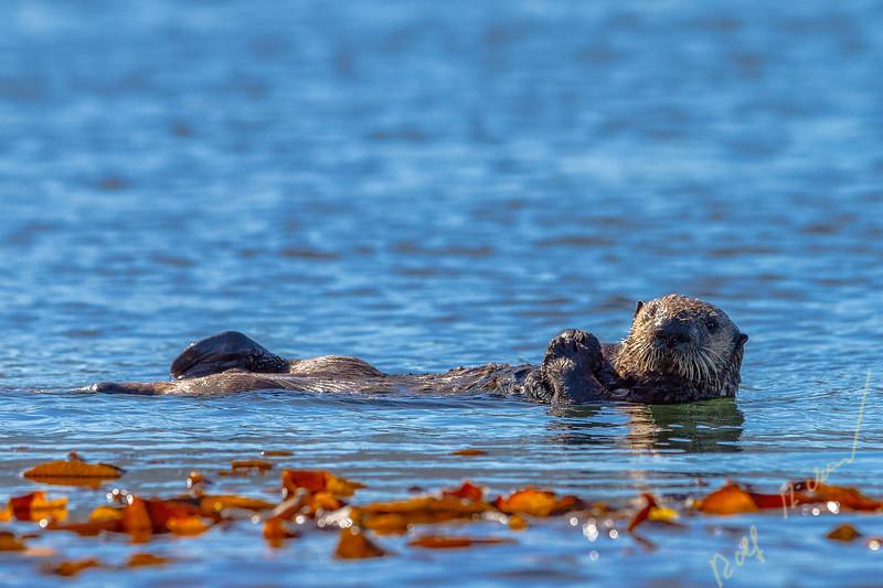 Sea otter off the northwestern Vancouver Island shore, Cape Scott, British Columbia, Canada.