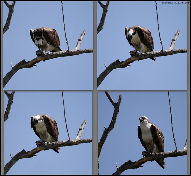 Input - Osprey collage of feeding, San Joaquin Marsh, Orange County, Los Angeles, California, May 2010