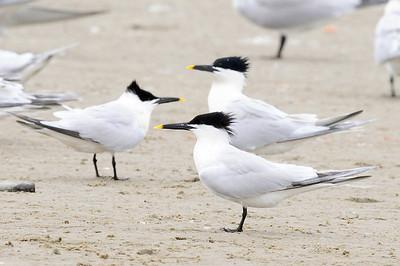 Gulls,Terns,Skimmers