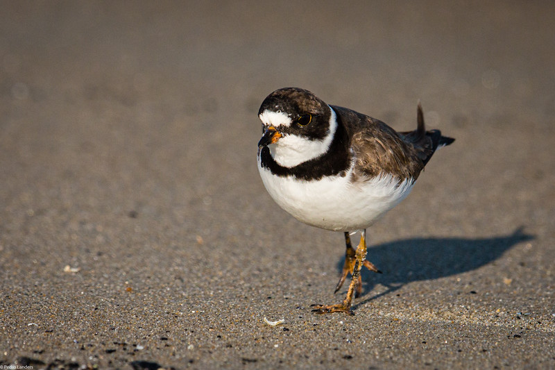Plover with Attitude.jpg