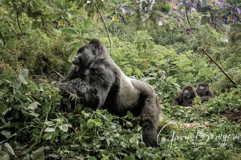 gorillas web-5.jpg