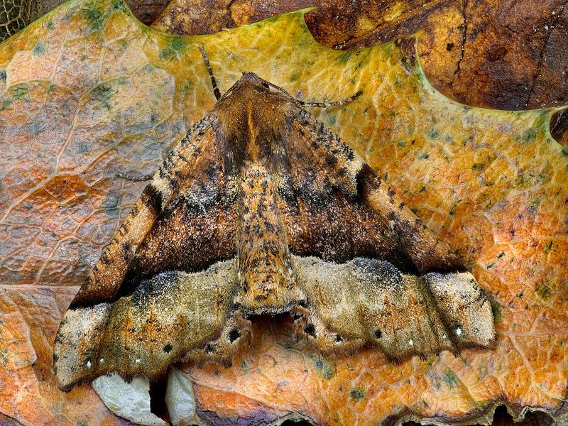 Morrison's Pero Moth