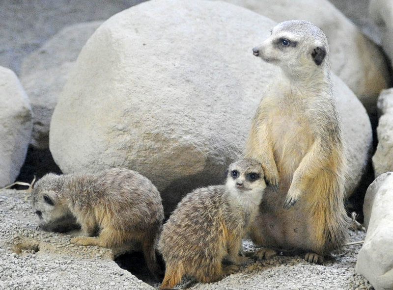 Description of . Two baby meerkats, left, hang around an adult meerkat at the Erie Zoo in Erie, Pa. on March 13, 2012. The meerkats were born at the zoo in January 2012.   (AP Photo/Erie Times-News, Greg Wohlford)