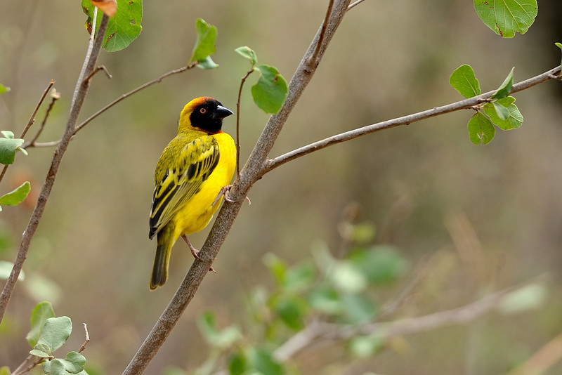 Little-Weaver-Serengeti.jpg
