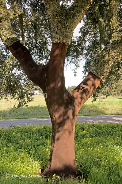 Wed 3/16 en route to Lisbon: Cork oak