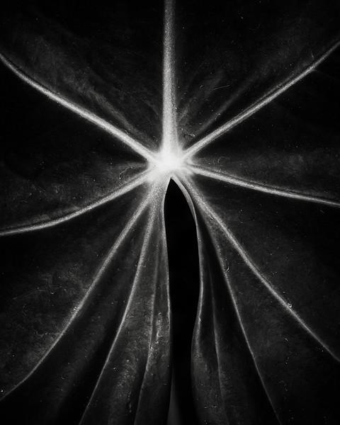 philodrendron leaf