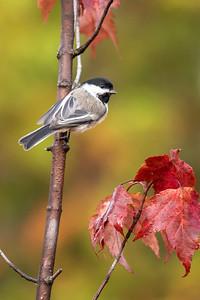 Oct. 20, 2019 - North Shore - Birds