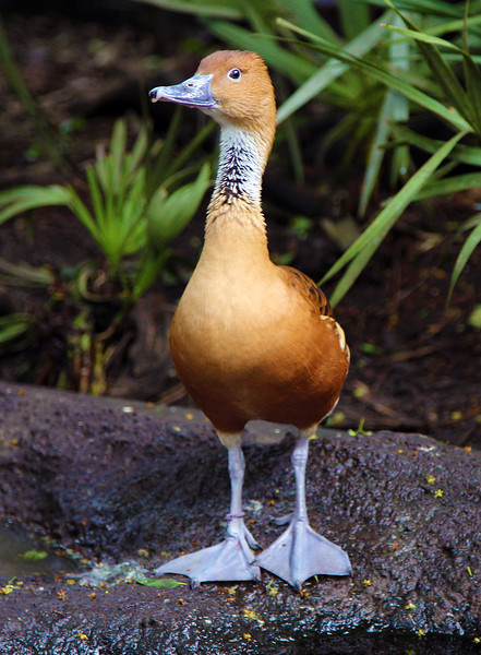 A Fulvous Whistling Duck.