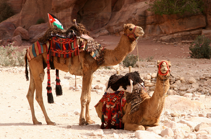 Petra - A couple of very patriotic camels waiting for the tourists.