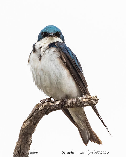 _DSC9109Tree Swallow Eyeing.jpg