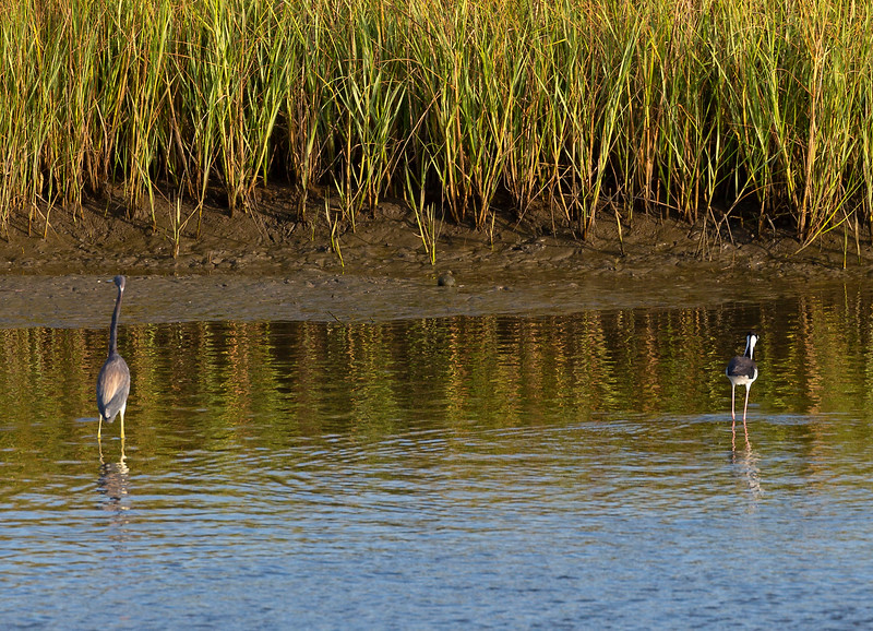 Tricolor Heron and Black-necked Stilt.  Now far apart ...