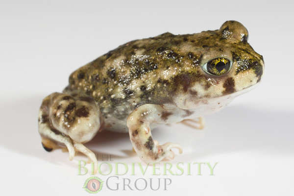 Spadefoot Toads (Scaphiopodidae)