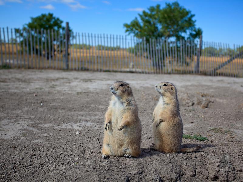 prairie_dogs1.jpg