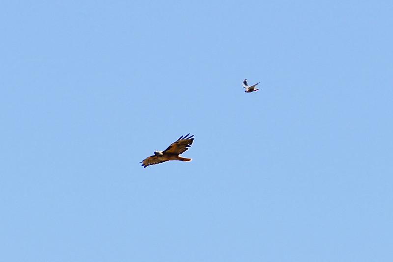 Hawk_082310_044.jpg