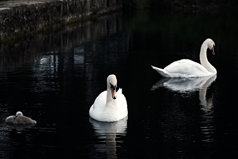 Swans_Of_Castletown025.jpg