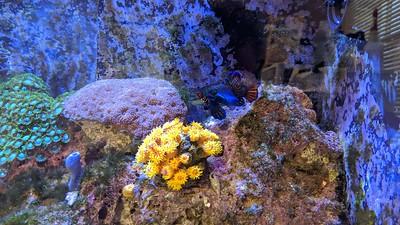 2020-02-20 - Reef Tank Update - Good pics of Mandarin Dragonette