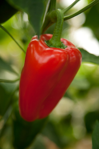 PEPPERS-RED-002.jpg