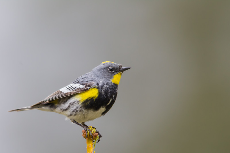 Yellow-rumped Warbler - Wuksachi Lodge, Sequoia National Park, CA, USA