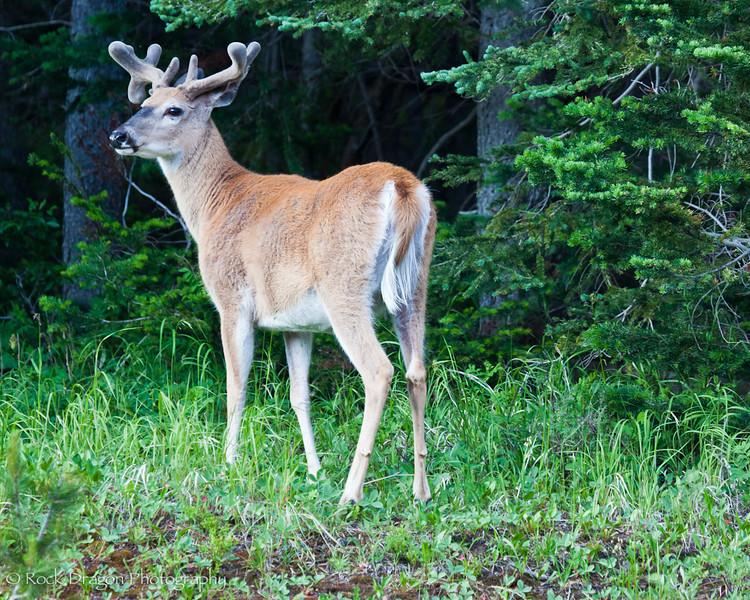 A deer in Peter Lougheed Provincial Park.