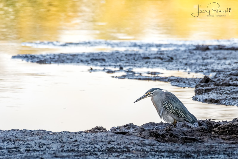 Green Backed Heron - South Africa