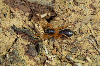 Ant-mimicking Swift Spider 1