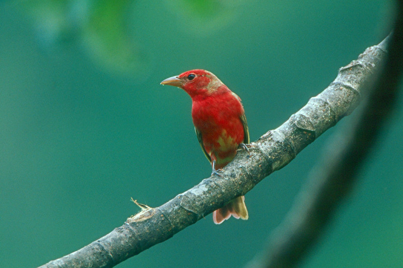 Summer Tanager - Panama
