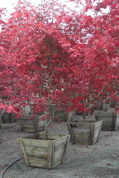 Acer japonicum 'Aconitifolium', Specimen 2.5'' #30 Box (3).JPG