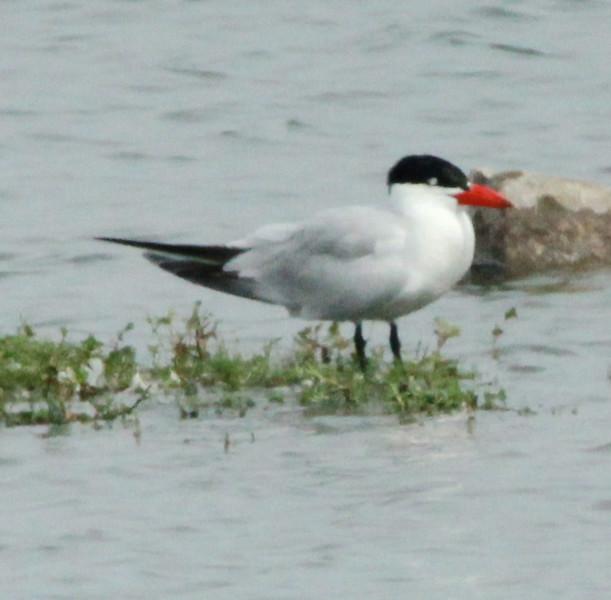 Caspian Tern @ Riverlands MBS [Teal Pond]