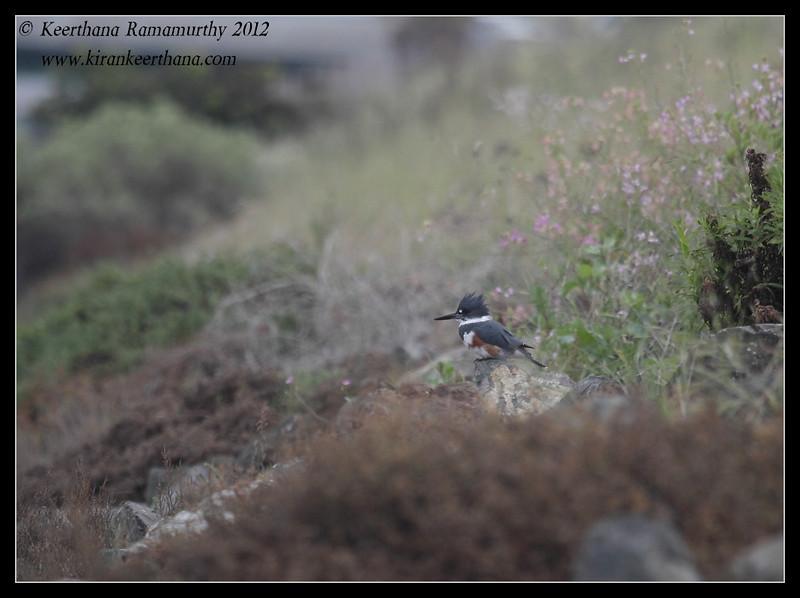 Female Belted Kingfisher habitat, Robb Field, San Diego River, San Diego County, California, February 2012