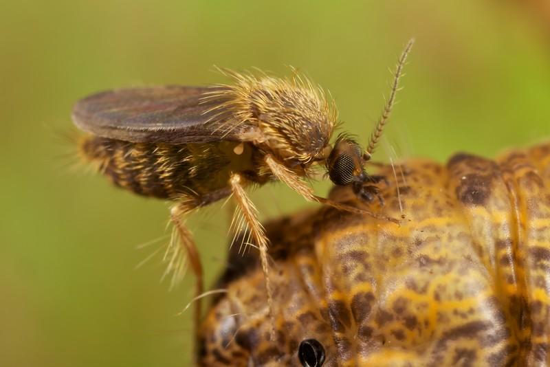 Ceratopogonid midge on caterpillar (7.5X magnification)