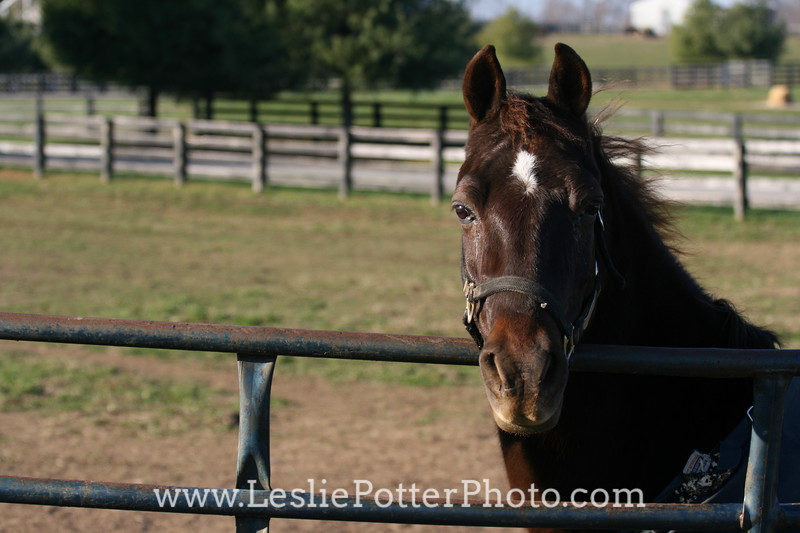 Horse Looking Over Gate