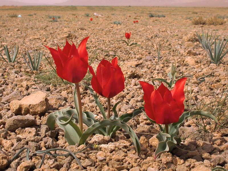 Ir 2251 Tulipa stapfii.JPG