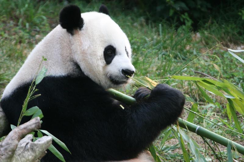 Panda080407_0078.JPG