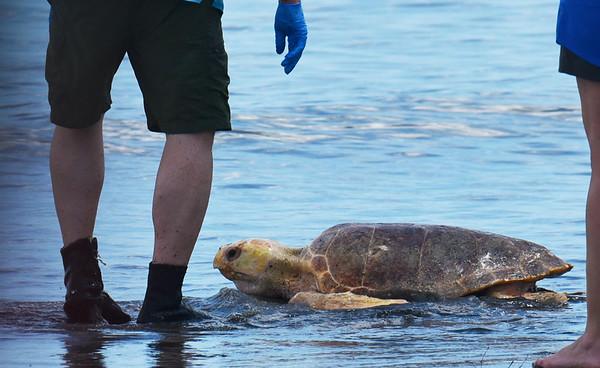 Jekyll Island Turtle Center Releases Three Sea Turtles 06-15-18