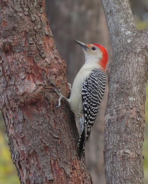 sx50_red_bellied_woodpecker_bit_967.jpg