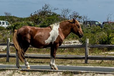 The Horses of Assateague Island