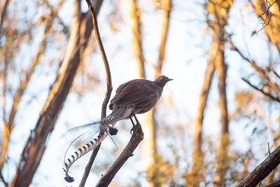 Lyre  bird 2 WM LR