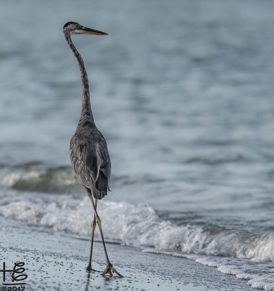 Blue heron on the beach